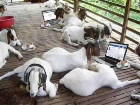 hi tech goat